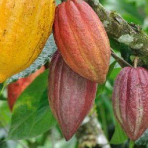 Ca cao trồng tại Việt Nam