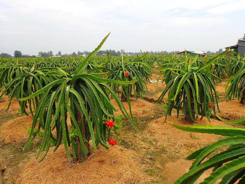 Dragon plantation Mekong delta