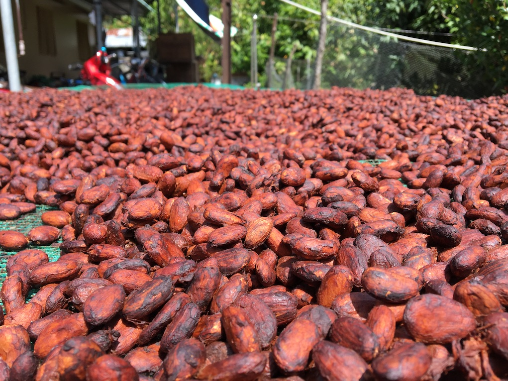 Cacao farm in mekong delta