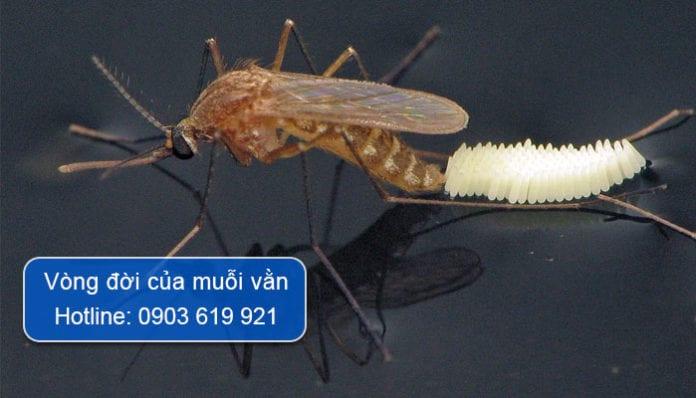 vòng đời của muỗi vằn