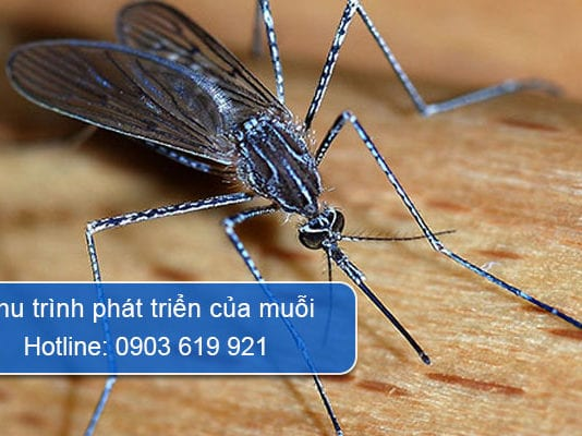 chu trình phát triển của muỗi