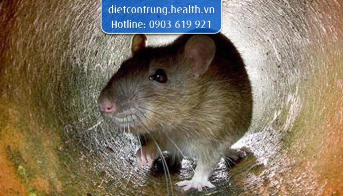 cách xua đuổi chuột